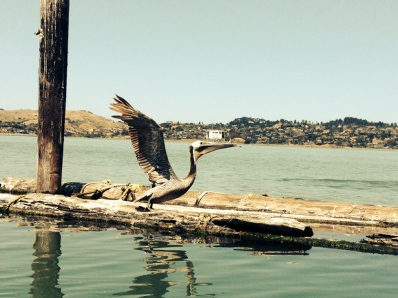 Photo of pelican by wise owl Lawrence