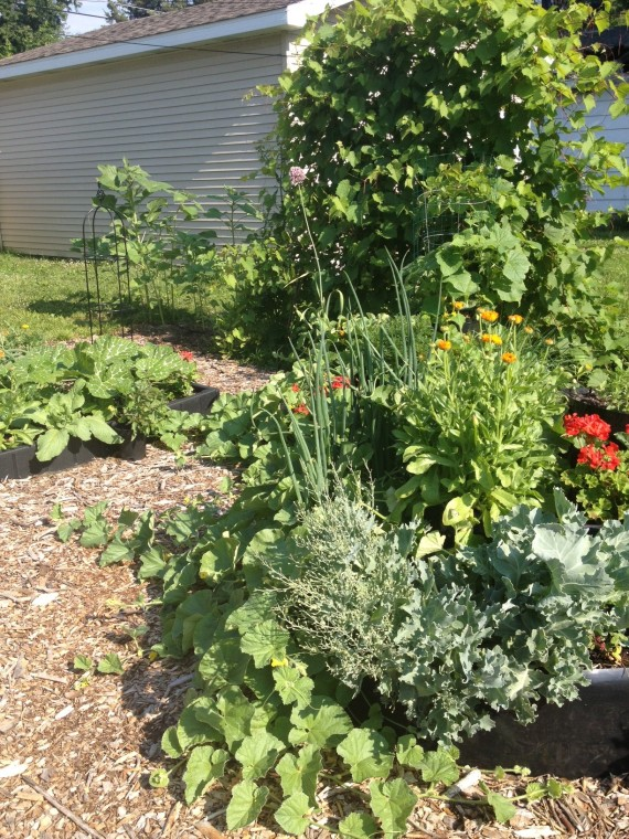grape vines, sunflowers, Fairy Tale Pumpkins, geraniums, calendula, cantaloupe, sea kale, cucumbers, zinnias, marigolds, onions and more ...