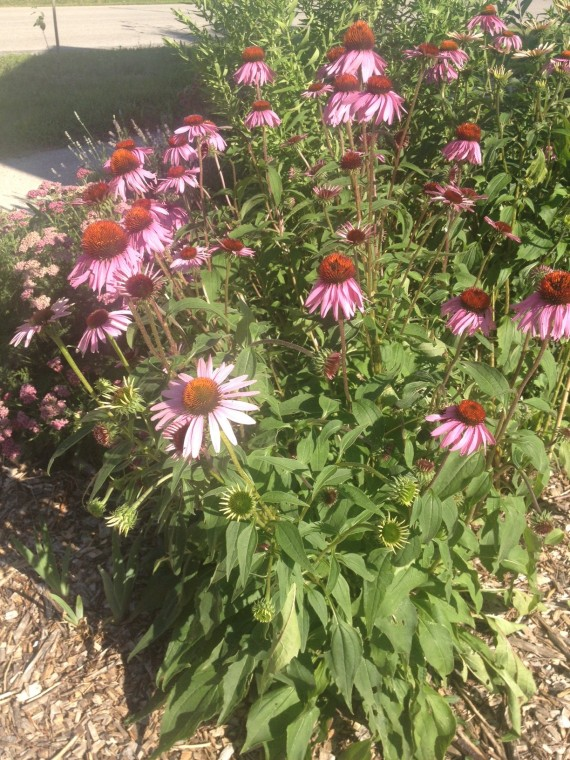 purple coneflower with lavender in back 7-13