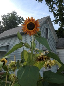 So glad I planted multiple varieties of sunflowers. These autumn harvest sunnies bloomed just when the others tanked.