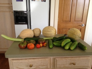 One morning's partial harvest. We have cantaloupes busting out all over the place. They've been eaten, given away, pickled, frozen, made into cinnamon-camu berry smoothies. All we can say is yum!