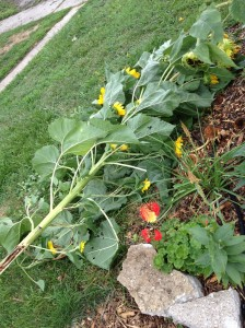 Here are the downed sunflowers after I removed them from the two other stalks they were crushing.