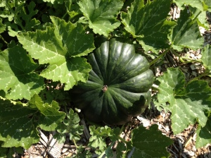 Our first fairy tale pumpkin has made an appearance. We have some others started, too, but not this big.