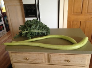 These serpentine gourds taste like a milder version of zucchini. Some have grown nearly 4 feet long! Just a couple shown here with kale for chocolate kale chips. I dried the gourds into savory chips while dehydrating the kale.