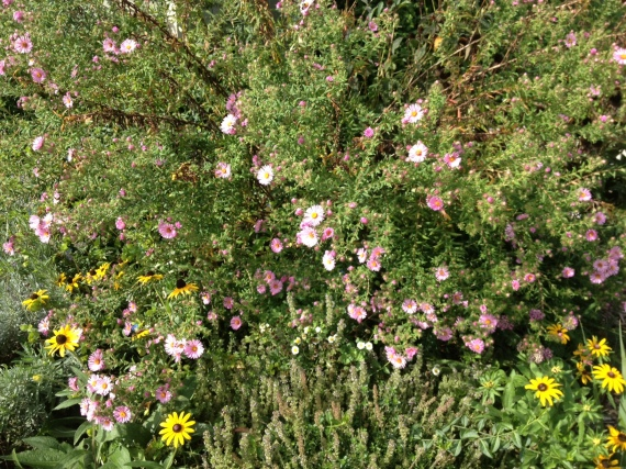 Asters, black eyed Susan's, thyme, lavender and feverfew
