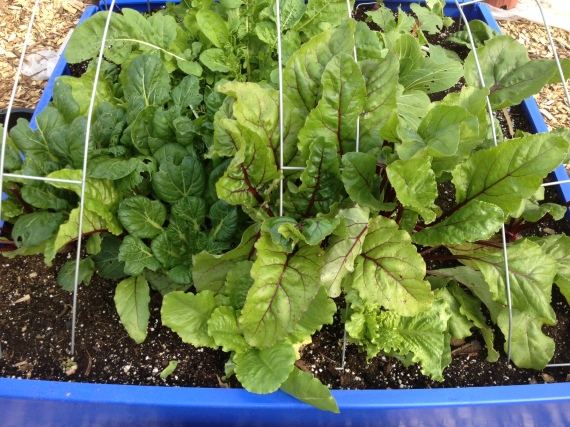 Heavily harvested beets 'n' greens: once the beets come out, more garlic will go in.
