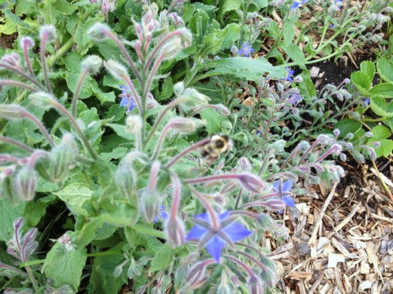 Blurry borage with bee