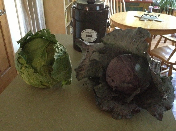 "That's a mighty big ""Brussels sprout"" on the left, huh? Those seedlings were labeled wrong at Whole Foods,  but I'm happy for the mistake. Here are two homegrown cabbages with a new fermenting crock from Lehman's."