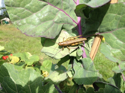 So many grasshoppers this year, but also so many plants and birds that I don't see much damage.