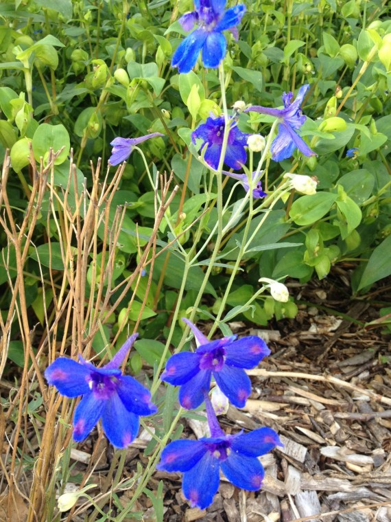 This larkspur made a surprising comeback. It's amazing what companion planting and ignoring plants will do. Nature knows how to take care of itself!