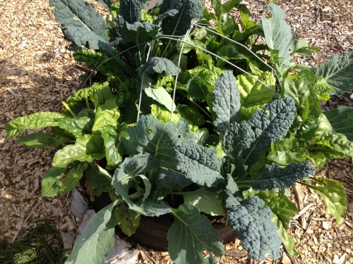Another abundant and heavily harvested bed of fall and winter greens.