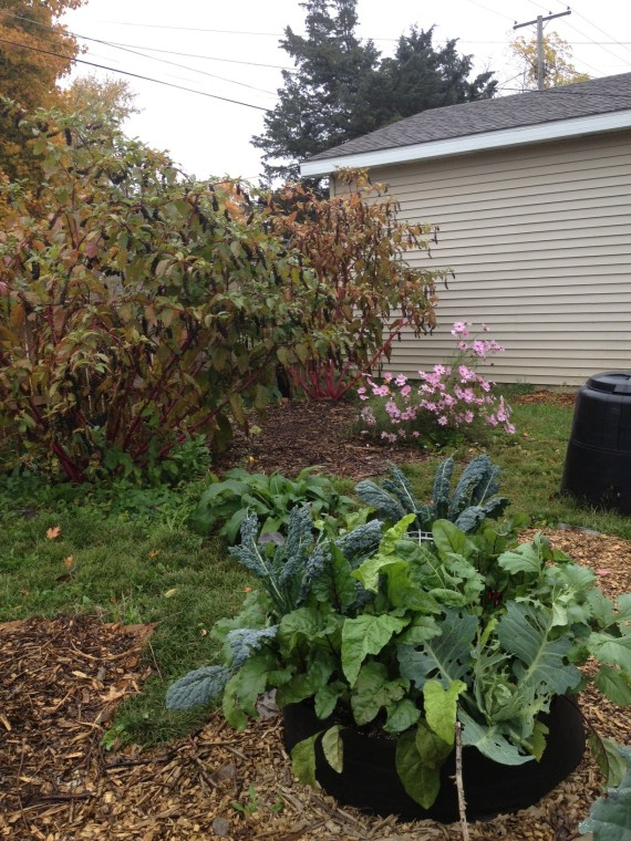 cosmos and compost --with brassicas
