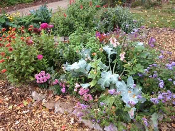 The central front bed with reblooming snapdragons, mums, zinnias, sea kale and other bee and butterfly havens