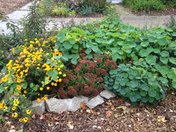 glorious sedum, marigolds, nasturtium and black eyed Susan's with a peek of rose