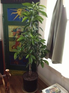 The cold hardy avocado tree came indoors when temps dipped below twenty degrees F.