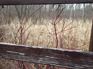 Red Dogwood, Goshen, Indiana