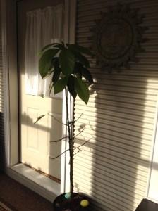 Avo tree March 2015