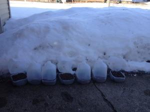 Repurposed milk jugs for winter sowing