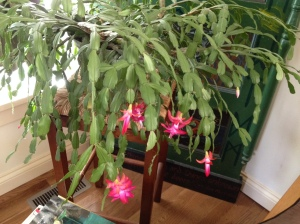 """Christmas"" cactus embracing the bloom in April."