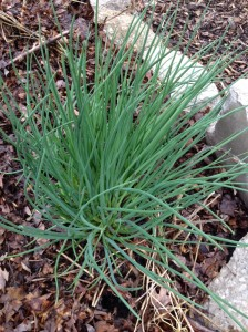 happy chives leading the beneficial bugs bed