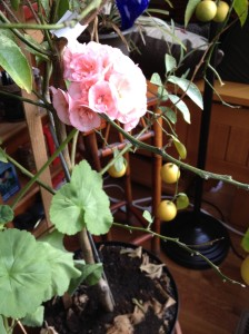 Blooming geranium, nearly ripe lemons and just a hint of the peach tree awaiting transplant.