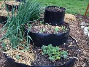 sea kale, Egyptian walking onions, garlic and an edible legume cool weather cover crop to fix nitrogen into the soil.