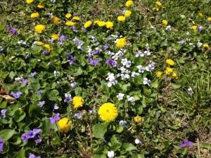dandy violets