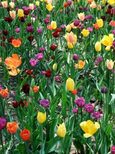 Not surprisingly, Tulip Time included lots of tulips -- all over town, of all shapes and sizes.