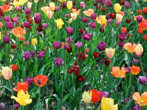 If I ordered correctly after a full day of searching for where to buy tulip bulbs at Tulip Time, we should have these beauties in our yard next spring.