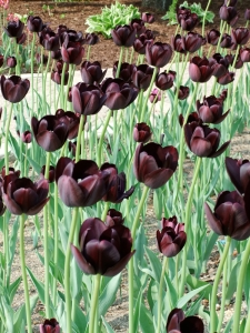 According to David's dad, the Dutch have been working for decades to breed a black tulip, but usually wind up with shades of purple. He was most excited to see these at the very end of our day.