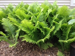 Ferns and Jack in the pulpit are probably six inches higher than when I snapped this photo two days ago.