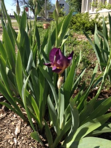 Our first iris of the season. Thank you, Kimber, for last year's gift of iris thinnings. I'm so looking forward to the full show!