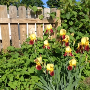 More iris along the back fence, with grape, raspberries and more echinacea.