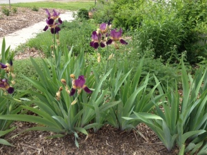 Iris in the front of the driveway, next to yarrow, just sprouting hyssop, aster, echinacea (coneflower), lavender, thyme, forsythia and more.