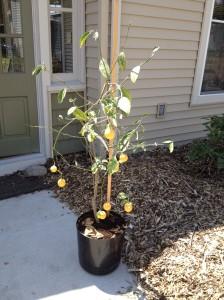 Meyer lemon recovering in sun