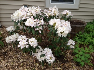 Rhododendrons always bloomed on my birthday as a child. This year they arrived one week early but still going strong.
