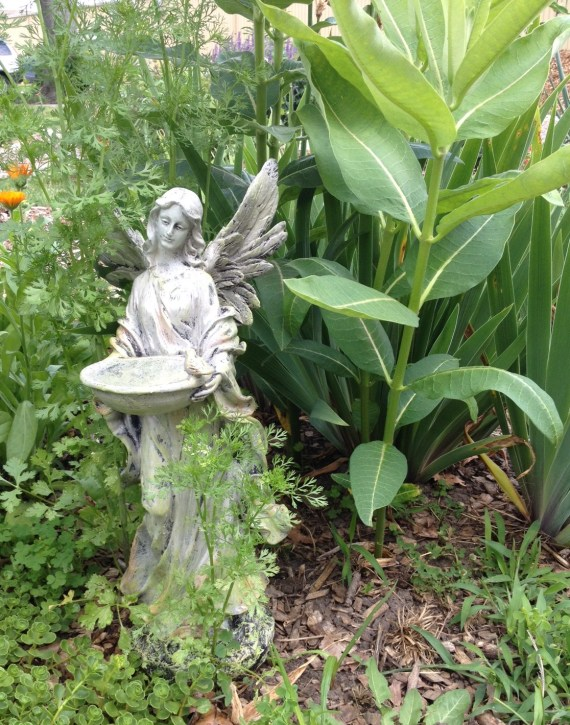 Volunteer milkweed with its own angel and butterfly friendly cilantro and calendula