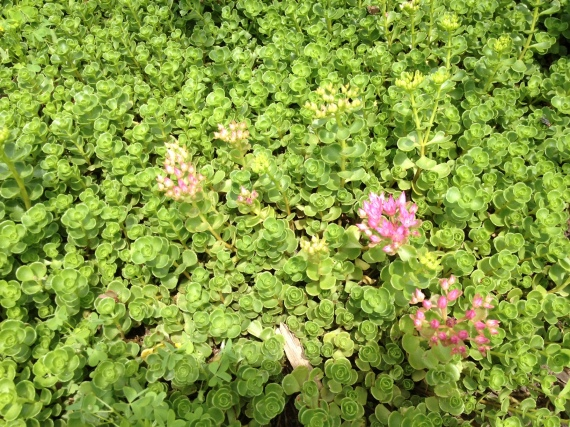 Last year's sedum groundcover has finally begun to cover ground ... and to bloom.
