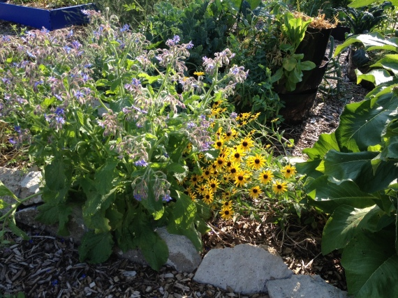 borage and black eyed Susans next to the elecampane I needed to tie to a trellis because it kept flopping its six foot tall self over the Susan's