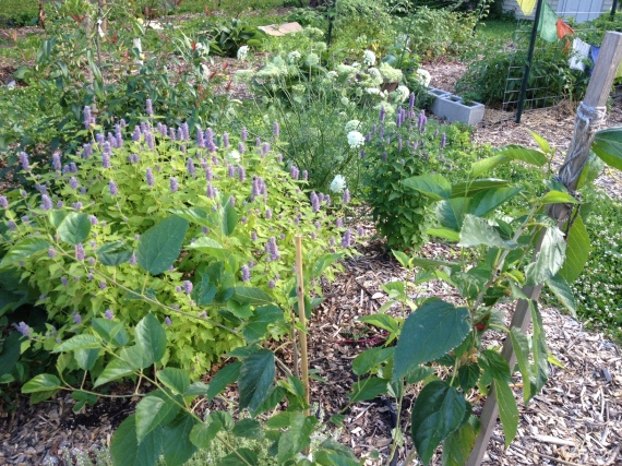 mulberry and hyssop