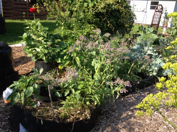 another zinnia getting cozy with kale, nastrutiums, borage, bell peppers, beets and basil
