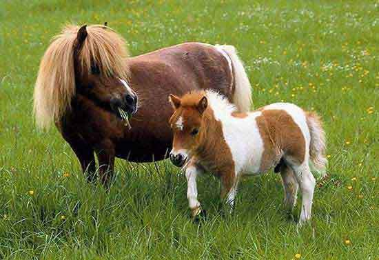 Pony-and-Foal-ponies-5018803-550-377