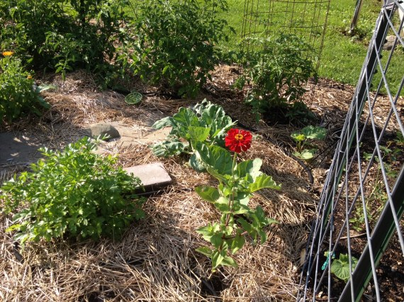 zinnias started flowering last week, but the red ones just came out -- shown here rhubarb, parsley, tomato, collards and calendula