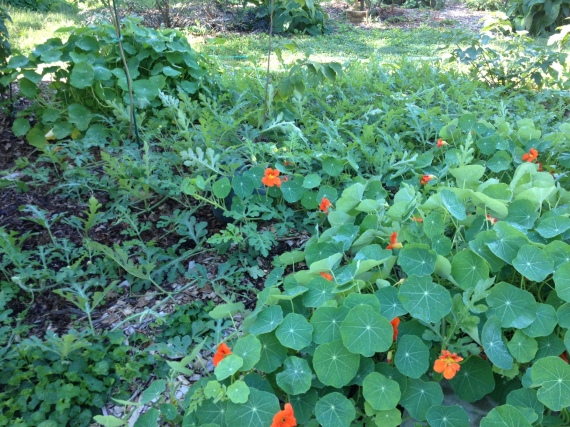 nasturtiums and watermelon acted as a great groundcover this year.