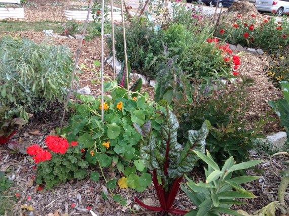 This little strip of chard and geraniums still lives happily under a mini tunnel.