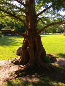 English Redwood – Photo by Becca Tarnas