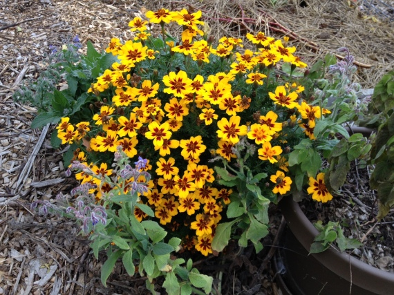 We still have a few marigolds, which the bumblebees love at this time of year.