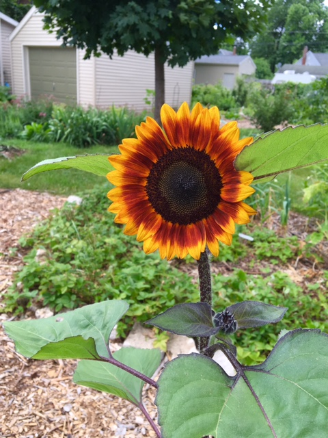 First sunflower of 2016