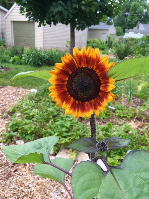 First sunflower of 2016