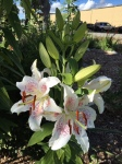 fancy lilies